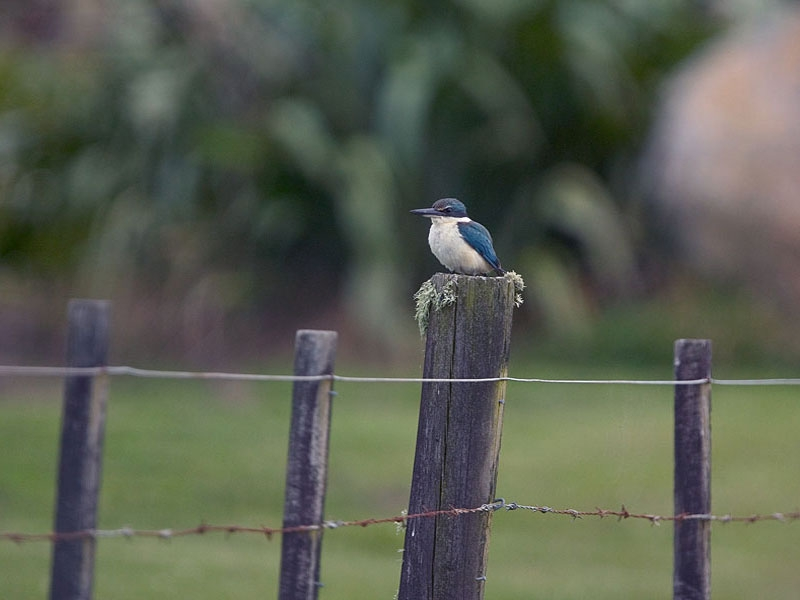 Sacred Kingfisher waiting to pounce