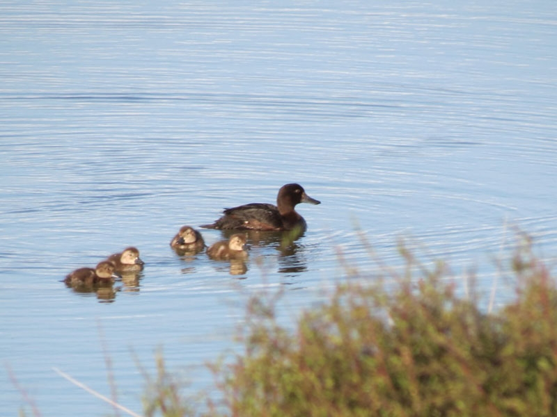 NZ Scaup on Pounui Lagoons