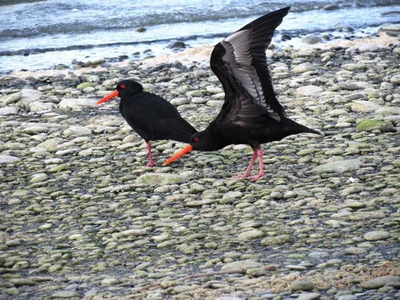 Variable Oystercatchers on Onoke Spit