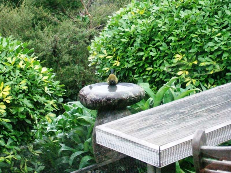 Bellbird at bird bath