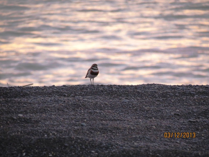 A Banded Dotterel alone on Ocean Beach