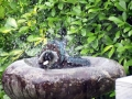 Tui in the bird bath at Te Rakau