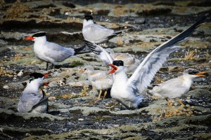 Caspian Terns and chick