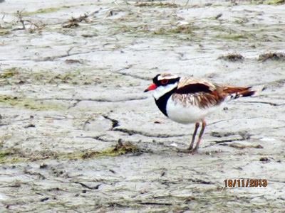 Black-Fronted-Dotterel
