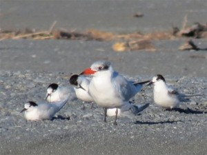 One Caspian tern amongst the smaller white fronted terns
