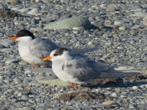One mature and a juvenile black fronted tern