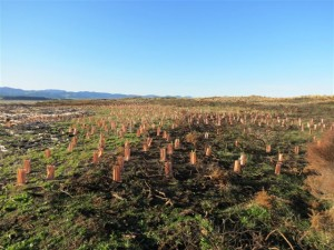 New planting at Onoke Spit - June 2015