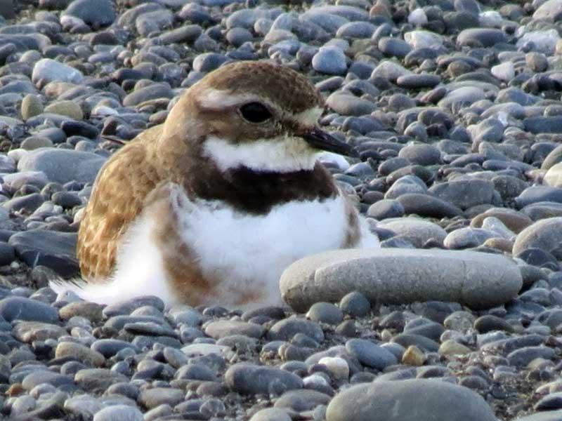 Banded Dotterel nesting on Onoke Spit