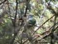 Grey Warbler feeding