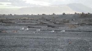 CAspian terns 1