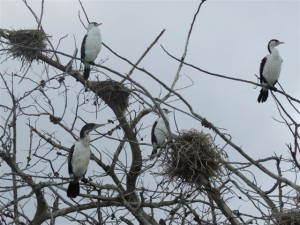 Spotted Shags roosting on driftwood
