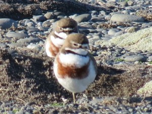 Pair of banded dotterels