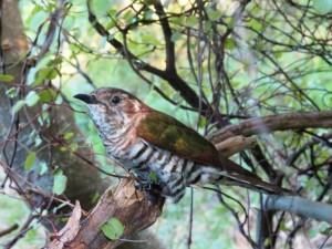 Shining-Cuckoo